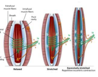 DOMS mechanisms